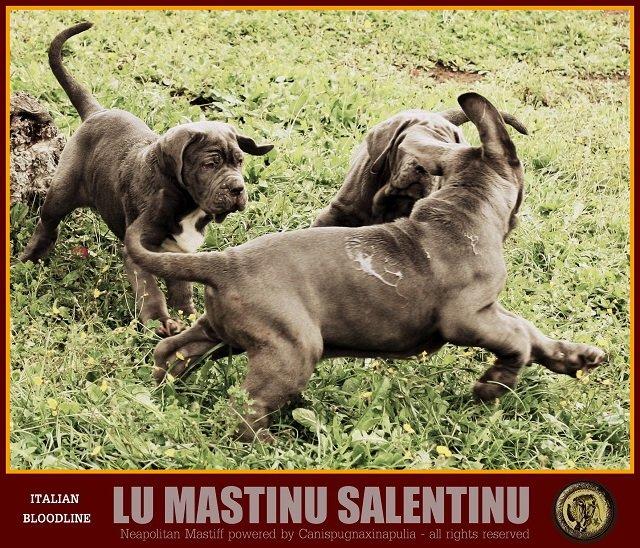 lu-mastinu-salentinu-15