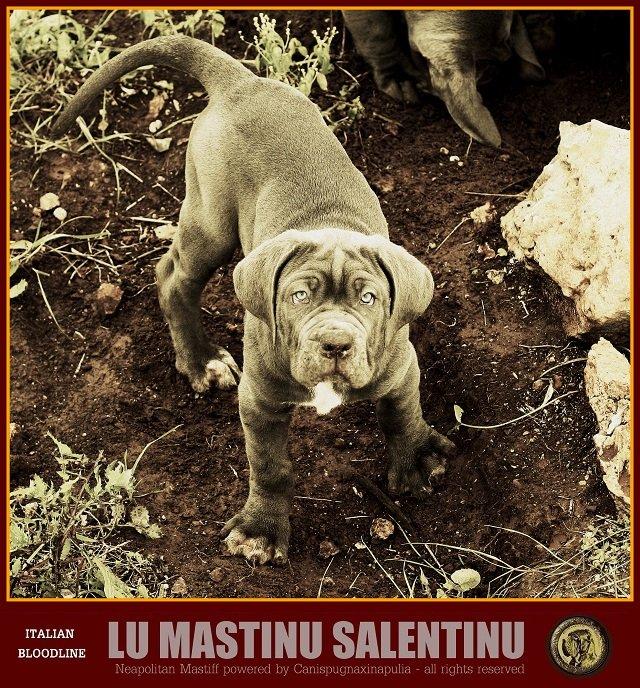 lu-mastinu-salentinu-22