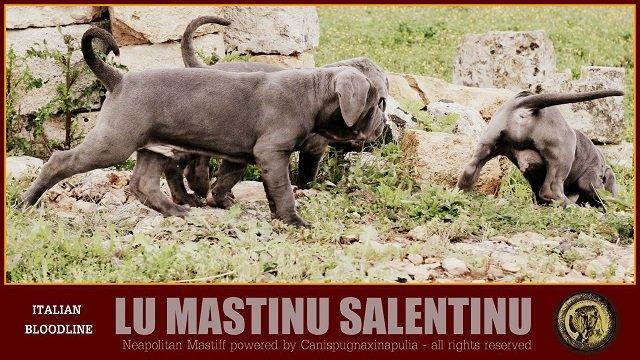lu-mastinu-salentinu-23