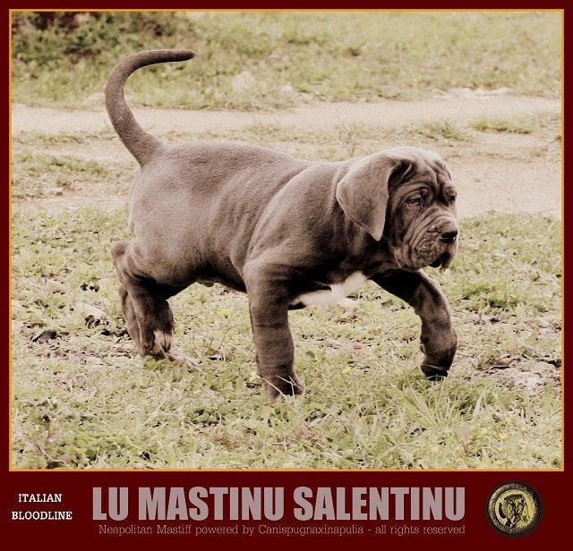 lu-mastinu-salentinu-24