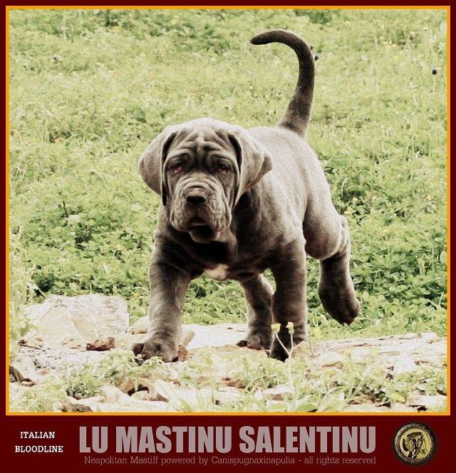 lu-mastinu-salentinu-3
