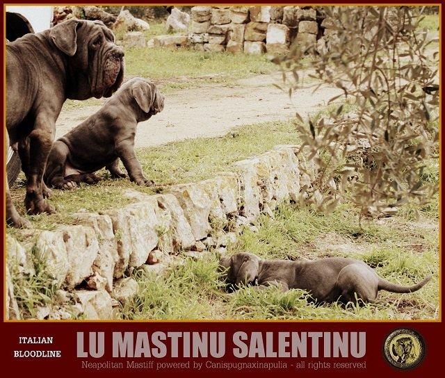lu-mastinu-salentinu-4