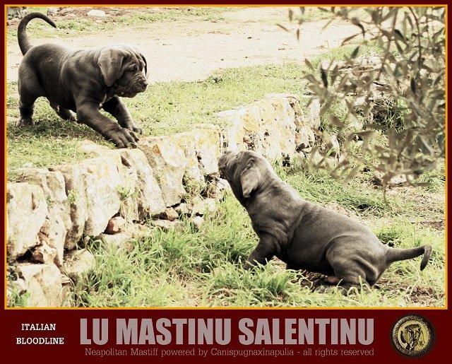 lu-mastinu-salentinu-6