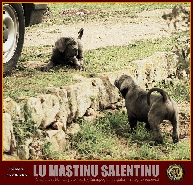 lu-mastinu-salentinu-7