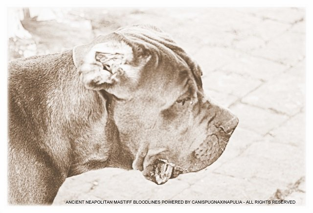 ancient-neapolitan-mastiff-bloodlines-powered-by-canispugnaxinapulia-all-rights-reserved-3