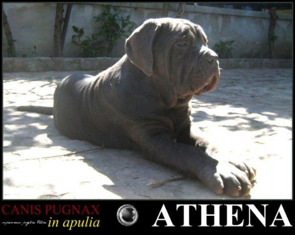 athena-lioness2-001