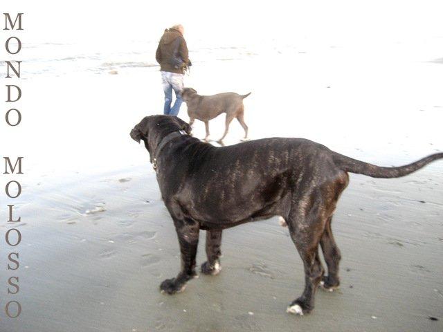 mastino napoletano cane corso due razze