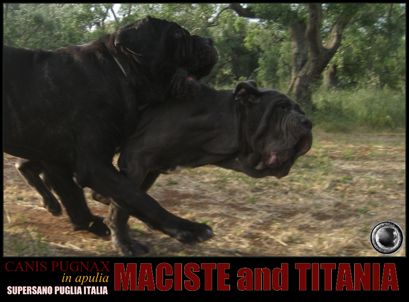 mastino napoletano in not
