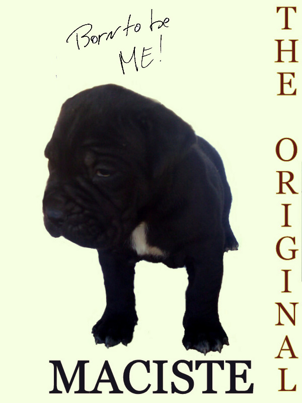 mastino napoletano born to be me