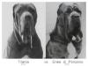 1-1-neapolitan-mastiff-by-canis-pugnax-2
